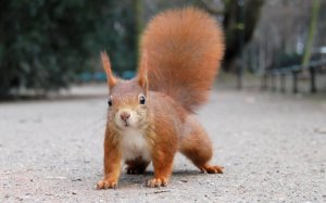 cute_red_squirrel_eurasian_red_squirrel_w520